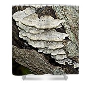 Weep No More My Baby - Bracket Fungi - Tyromyces Balsamea Shower Curtain