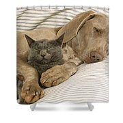 Weimaraner Asleep With Cat Shower Curtain