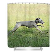 Weimaraner Dog Running Shower Curtain