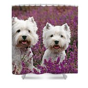 West Highland Terrier Dogs In Heather Shower Curtain
