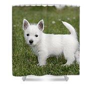 West Highland White Terrier Puppy Shower Curtain