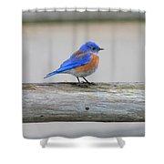 Western Bluebird Perching Shower Curtain