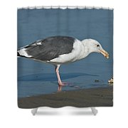 Western Gull Eating Clam Shower Curtain