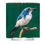 Western Scrub Jay Shower Curtain