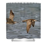 Whimbrels Flying Above Beach Shower Curtain