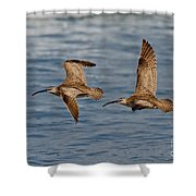 Whimbrels Flying Close Shower Curtain