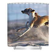 Whippet Dogs Fighting Shower Curtain