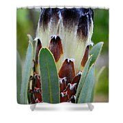 White And Brown Protea  Shower Curtain