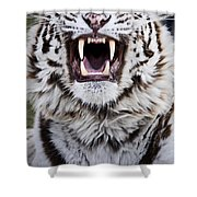White Bengal Tiger At Forestry Farm Shower Curtain