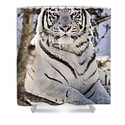 White Bengal Tiger, Forestry Farm Shower Curtain