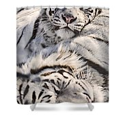 White Bengal Tigers, Forestry Farm Shower Curtain