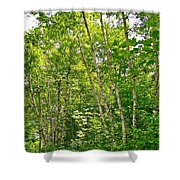 White Birch Along Rivier Du Nord Trail In The Laurentians-qc Shower Curtain