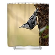 White-breasted Nuthatch Pictures 46 Shower Curtain