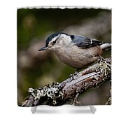 White-breasted Nuthatch Pictures 47 Shower Curtain