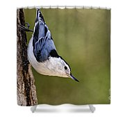 White-breasted Nuthatch Pictures 52 Shower Curtain