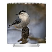 White-breasted Nuthatch Pictures 60 Shower Curtain