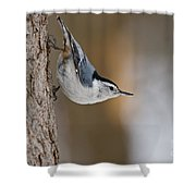 White-breasted Nuthatch Pictures 88 Shower Curtain