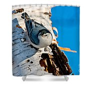 White-breasted Nuthatch Pictures 95 Shower Curtain