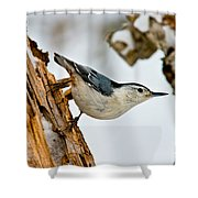White-breasted Nuthatch Pictures 97 Shower Curtain