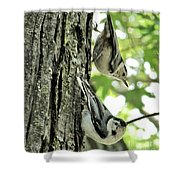 White Breasted Nuthatches Shower Curtain