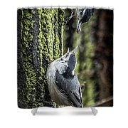 White Breasted Nuthatchs Shower Curtain