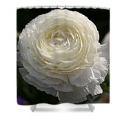 White Buttercup - Ranunculus Shower Curtain