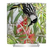 White-cheeked Honeyeater Feeding Shower Curtain