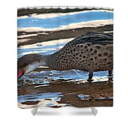 White-cheeked Pintail Shower Curtain