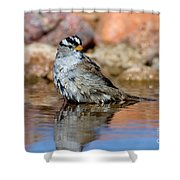 White-crowned Sparrow Bathing Shower Curtain