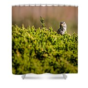 White-crowned Sparrow In A Bush Shower Curtain