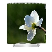 White Daffodil Rear Profile Shower Curtain