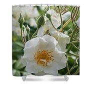 White Dog Rose And Buds Shower Curtain