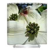 White Dogwood Flowers Art Prints Spring Shower Curtain by Baslee Troutman