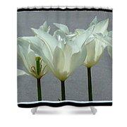 White Early Dawn Tulips Black Border Shower Curtain