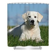 White Golden Retriever Dog Lying In Grass Shower Curtain by Dog Photos