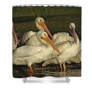 White Pelicans Shower Curtain