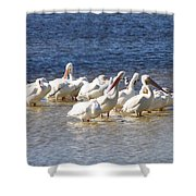 White Pelicans On Sanibel Island Shower Curtain