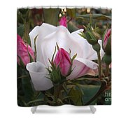 White Rose Pink Buds Shower Curtain