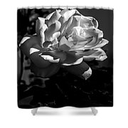 White Rose Shower Curtain by Robert Bales
