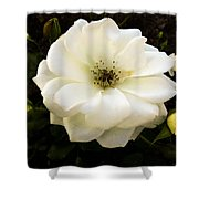 White Rose With Buds Shower Curtain