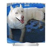 White Siberian Husky In Pool Shower Curtain