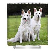 White Swiss Shepherd Dogs Shower Curtain