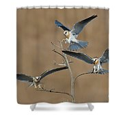 White-tailed Kite Young Shower Curtain