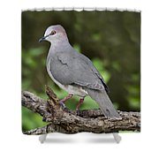 White-tipped Dove Shower Curtain