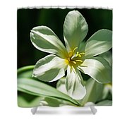 White Tulip Wide Open - Featured 3 Shower Curtain