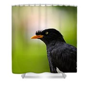 White Vented Myna Bird With Feathers Standing Above Beak Shower Curtain