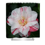 White With Pink Camellia Shower Curtain