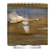 Whooper Swan Cygnus Cygnus Flying Shower Curtain