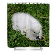Whooper Swan Juvenile  Shower Curtain