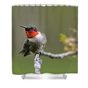 Wild Birds - Ruby-throated Hummingbird Shower Curtain by Christina Rollo